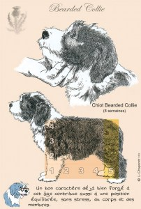 N°38 : Chiot Bearded Collie de 8 semaines (2003).