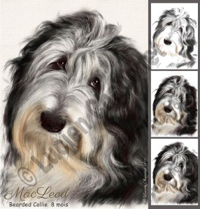 macleod-bearded-collie-dessin-composition-realisation-lucien-chaponet6